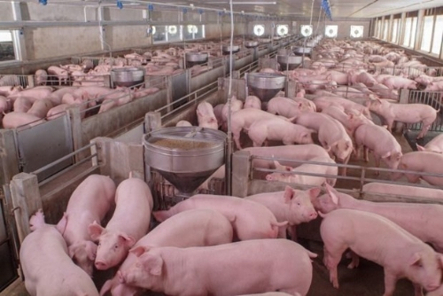 Russia becomes largest pork supplier to Vietnamese market